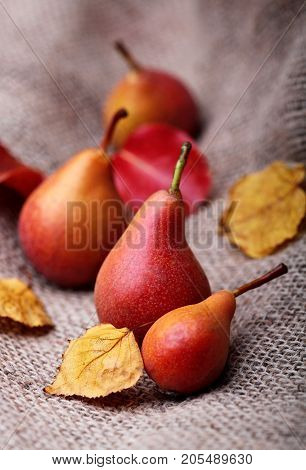 Pears. Pears Harvest. Fresh Organic Pears On Old Sacking. Pear Autumn Harvest. Autumn Nature Concept