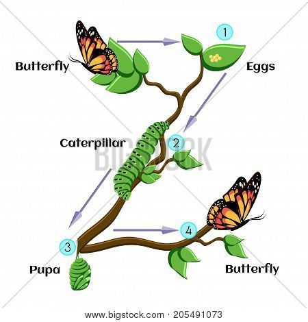 Life cycle of butterfl. Eggs, caterpillar, pupa, butterfly. Metamorphosis. Educational biology for kids. Cartoon vector illustration in flat style.