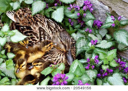 Adorable newly hatched mallard ducklings (just a few hours old) getting to know momma in their nest surrounded by lamium flowers.  Closeup with shallow dof.