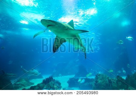 Undersea blue background. Bottom view of white shark in large sea water aquarium. Lisbon Oceanarium, Portugal. Tourism, holidays and leisure concept. Copy space.