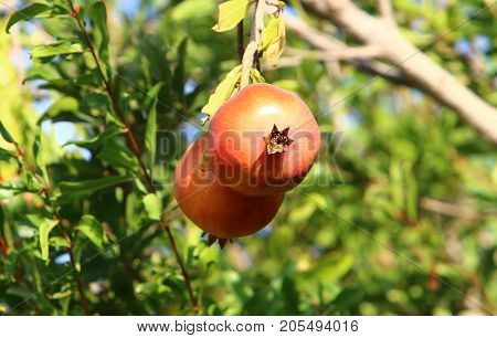 Ripe pomegranates ripened in the garden in the north of Israel