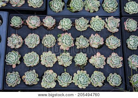 industrial flower plant cultivation agriculture inside green house close up view