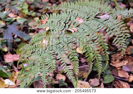 A green branch of the fern against the background of the forest litter.