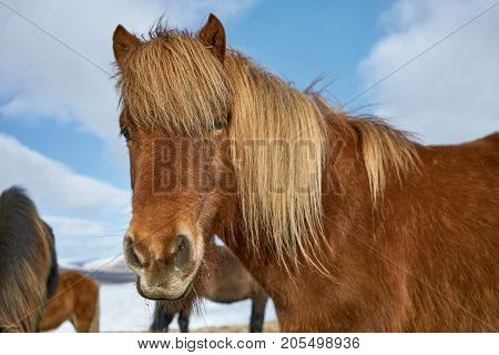 Brown icelandic horse looks into the camera on the cloudy sky background in Iceland. Sun shines onto its mane. Closeup. Horizontal.