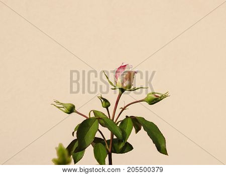 beautiful pink flower fragrant rose close-up on a light background
