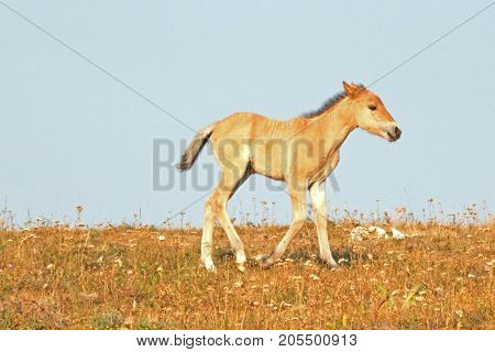 Baby foal colt wild horse mustang on Sykes Ridge in the Pryor Mountains Wild Horse Range on the border of Montana and Wyoming United States