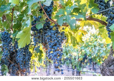 Red Cabernet Grapes on vine ready to harvest in Napa Valley