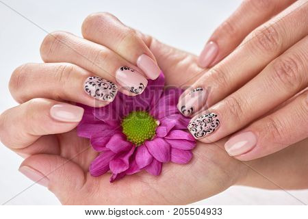 Female manicured hands holding chrysanthemum. Little pink chrysanthemum in beautiful young woman hand with nude manicure. Women hands hygiene and care.