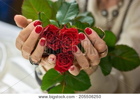 Red roses in female manicured hands. Senior woman hands with perfect red manicure holding red roses. Feminine skin love and delicacy.