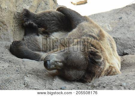 A Large Bear Sleeping In A Zoo