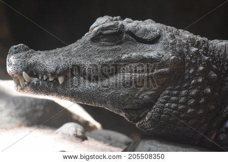 A Wild Vicious Crocodile In A Zoo