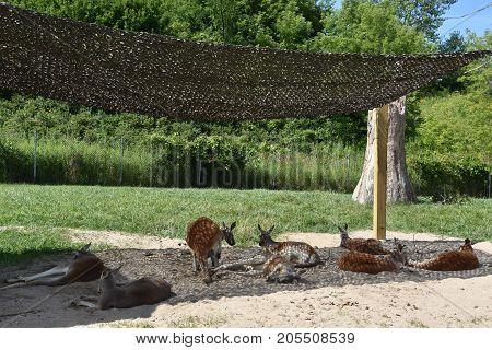 Pair Of Kangaroos Relaxing In A Zoo