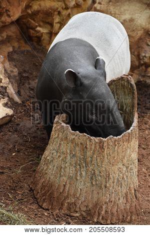 A Tapir In A Zoo in the USA
