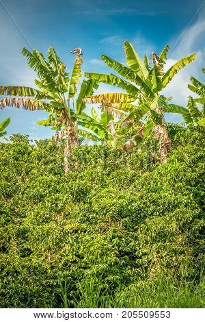 This image shows banana tress in a coffee plantation in Jerico Colombia in the state of Antioquia