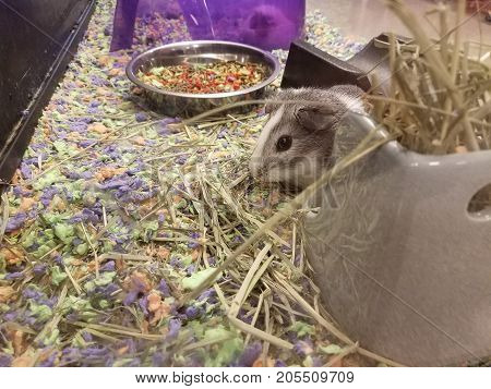 several rodents guinea pigs in their cage