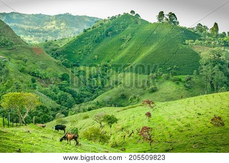 This image shows a coffee plantation in Jerico Colombia. In the front is a meadow with cows grazing