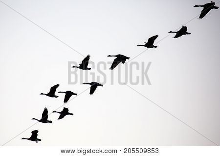 Silhouette of a flock of canada geese (branta canadensis) flying