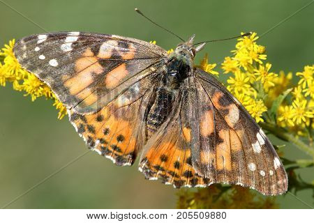 Painted Lady Butterfly (Vanessa cardui) on Goldenrod flowers