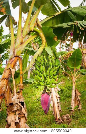 This image shows a banana tree in, Jerico Colombia in the state of Antioquia