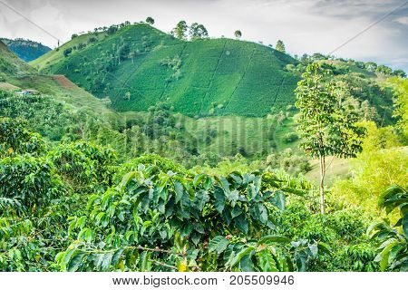 This image shows a coffee plantation in Jerico Colombia