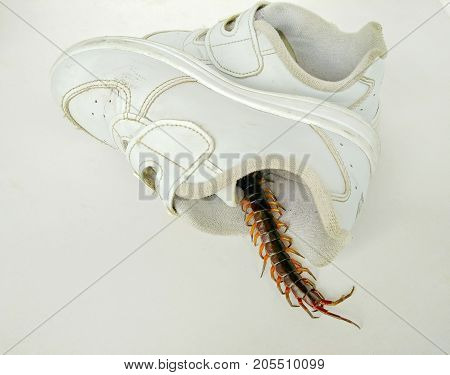 Centipede in shoes rainy hazards poisonous beasts lurk intrusion into the house.