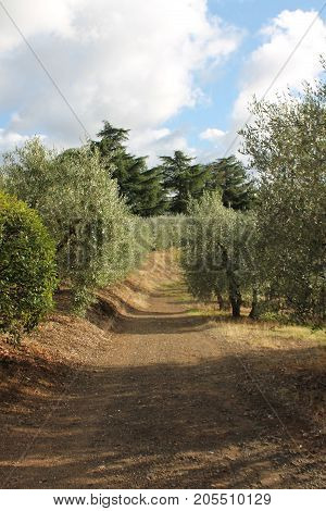 Olive Orchard and Vineyard in Frascati, Italy