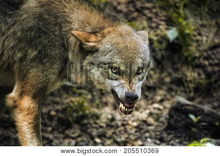 The Jackal is an animal that ignorance can easily be confused with ordinary dog or wolf. Not surprising, because they are all related species. How to distinguish animal from other members of his family? Photo of Jackal won't be able to do it.