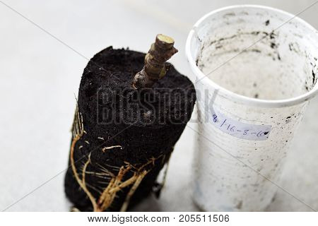 Preparation of fig plant into rooted soil