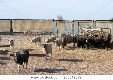 A herd of sheep eating hay in the pen