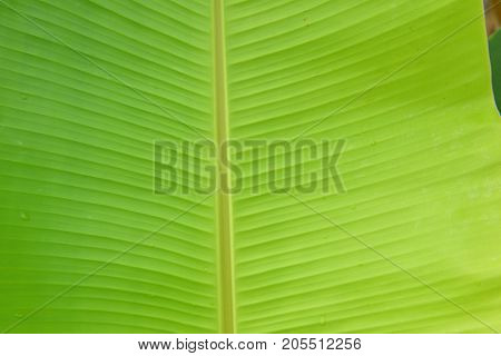 Green banana leaf with texture background .