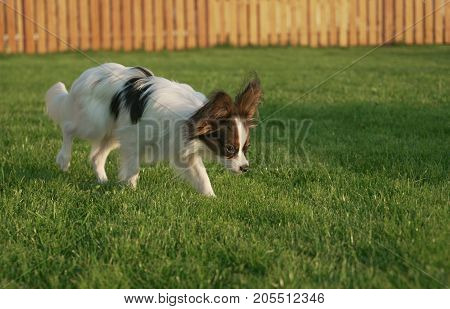 Beautiful young male dog Continental Toy Spaniel Papillon on a green lawn