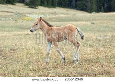 Baby foal colt wild horse on Sykes Ridge in the Pryor Mountains Wild Horse Range on the border of Montana and Wyoming United States