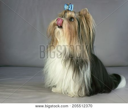 Beautiful male Beaver Yorkshire Terrier with a bow