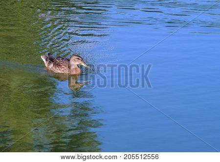 duck swimming on blue lake blue reflections mallard nature wildlife