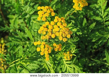 Plant of Tansy (Tanacetum vulgare Common Tansy Bitter Buttons Cow Bitter Mugwort Golden Buttons)