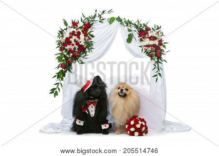 Beautiful spitz wedding couple sitting under flower arch isolated on white background. dog bride in skirt and veil. groom in suit and silk hat. happy newlyweds. copy space.