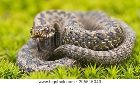 Steppe Viper is a dangerous snake. It is widespread in Central and southern Europe, and South-Eastern regions of Ukraine, particularly in Crimea. In Russia often found in steppe and forest-steppe zones of the European part of the country, the steppe regio
