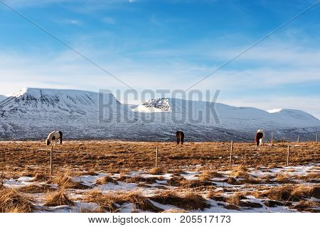 Countryside landscape, farmland in winter with horses and snow mountain in the morning