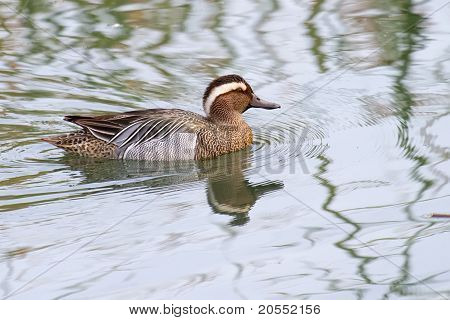 Garganey Duck