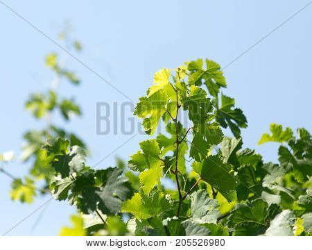 young leaves of the vineyard . In the park in nature