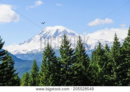 A single bird flying in front of Mount Rainier, which is peaking through the clouds and the surrounding forest.