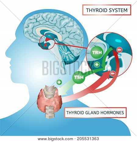 Thyroid system vector illustration. Medical anatomy with brain, throat, bone and trachea with useful information shown on a human body silhouette isolated on a white background.