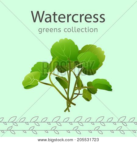 Watercress vector illustration. Beautiful image isolated on a light green background. Greens collection.