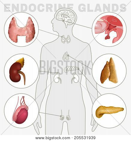 Human anatomy set. Endocrine system - pituitary gland, pineal gland, testicle, ovary, pancreas, thyroid, thymus, adrenal gland Vector illustration isolated on a white background