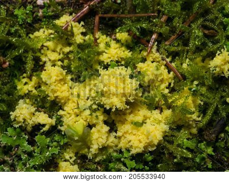 Yellow slime mold in moss close-up selective focus shallow DOF.