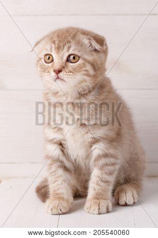 Cute scottish fold kitten siting on wooden boards