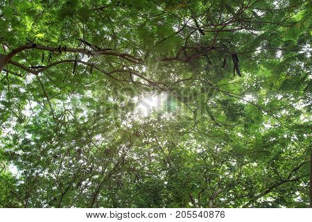 Looking up at the sky through green leaf of Delonix regia tree branches with sun shining through the treetop.