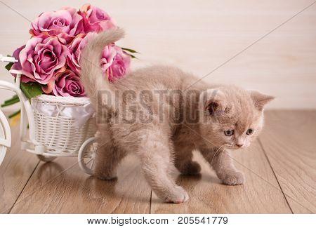 Lovable scottish fold cat at home. Scottish Kitten