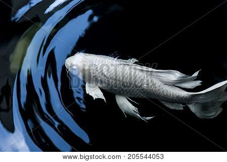 butterfly koi fish white platinum color in black pond with motion of water wave