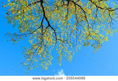 Big Oak Tree